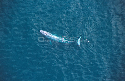 Aerial view of Blue whale {Balaenoptera musculus} Sea of Cortez, Mexico