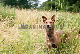 Formosa dog standing alert in tall grass