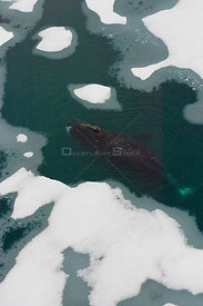 Bowhead whale (Balaena mysticetus) swimming amidst multi-layer ice (freshwater pans formed over many years where the salt is ...