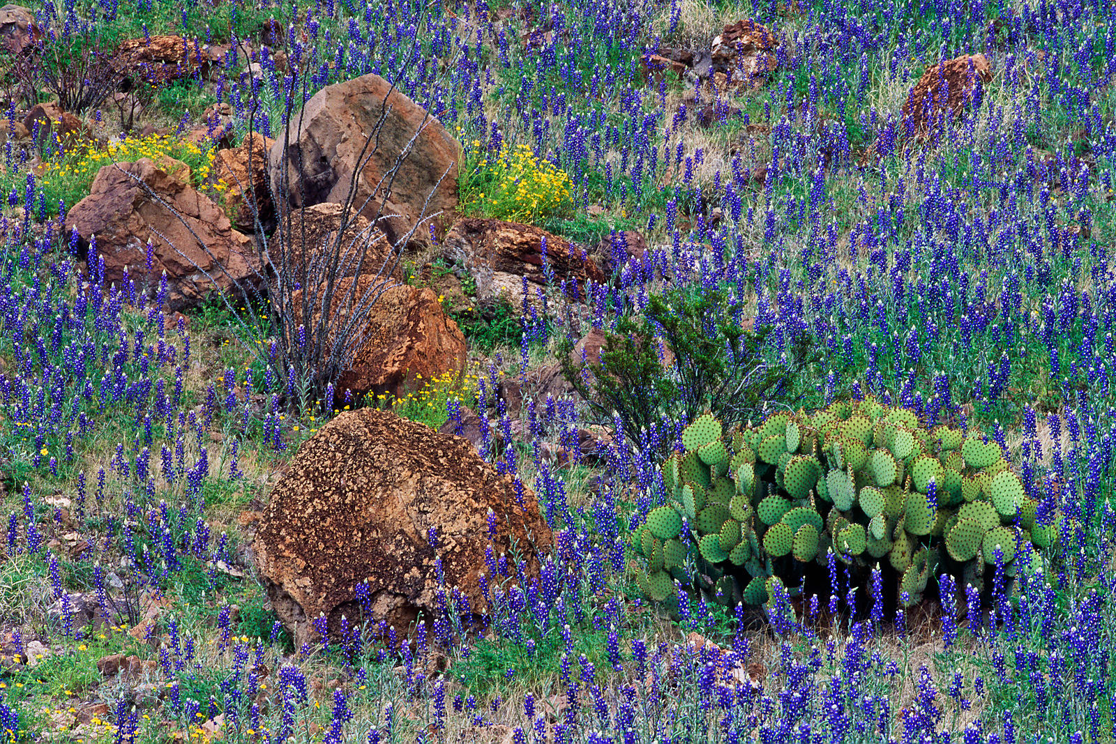 Wild Flowers in Big Bend National Park