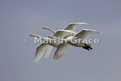 Three Whooper Swans (Cygnus cygnus) in flight, in (near) perfect symmetry, Lancashire, England