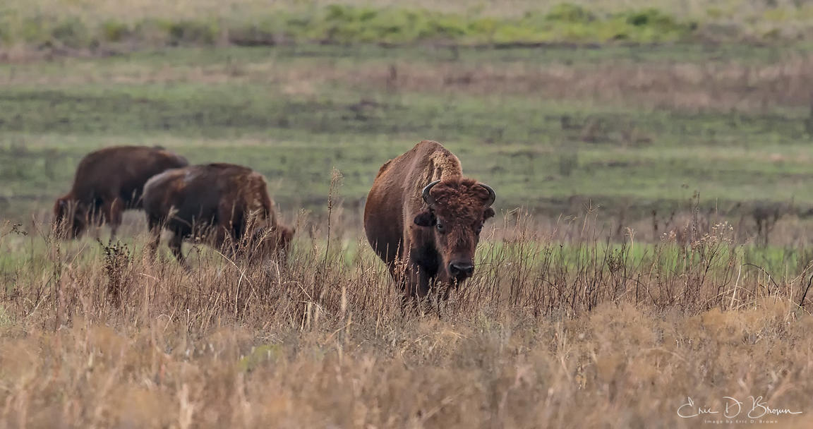 Bison Grazing - Tall Grass Prairie
