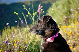 Black-Dog-Mutt-on-Hike-Sitting-in-Sunny-Wildflowers