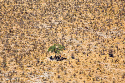 Aerial view of African elephants (Loxodonta africana) looking for the shade under trees on a very hot day , Northern Botswana.