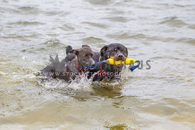 two dogs playing tug in the water