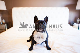 black and white french bulldog sitting on a bed looking up