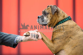 Boxer giving the paw to his owner