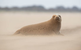 Adult Grey Seal