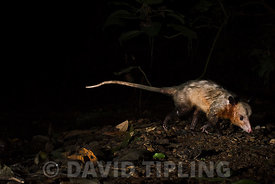 Common Opossum (Didelphis marsupialis) Canopy Camp in the Darien Panama