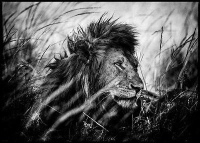 4317-Lion_after_the_nap_Kenya_2013_Laurent_Baheux