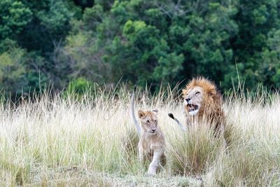 Lion and Cub in Tall Kenya Grass