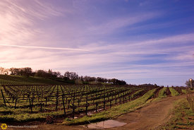 Morning in the Vineyard #1
