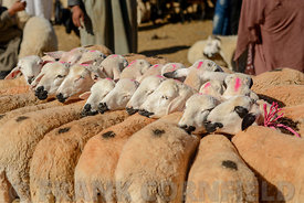GUELMIM, MOROCCO – OCTOBER 31, 2015: Herd of sheep bound together for sale at the weekly market in the south Moroccan town of...