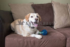 Cute blonde dog sits on couch with a toy