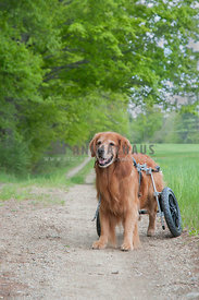 Golden Retriever in a wheelchair on a path