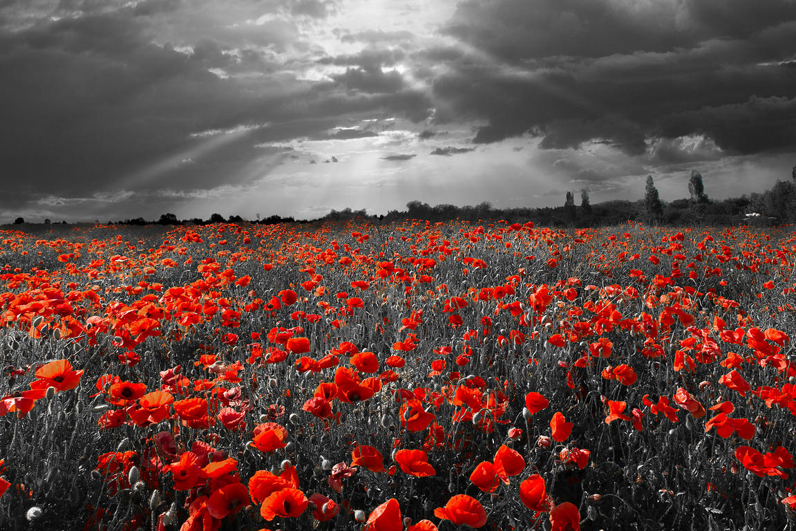 Poppy field selective red version