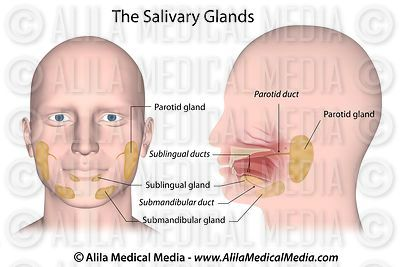 Salivary glands labeled.