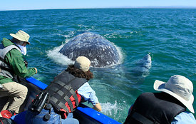 Friendly Grey Whale