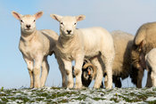 Texel lambs in snow, North Yorkshire, UK.