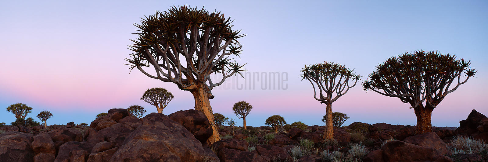 Kokerboom (Quiver Tree) Forest