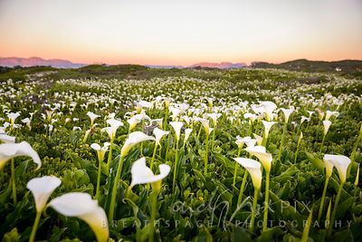 Field full of white arum lilies at sunrise