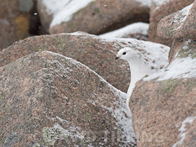 Ptarmigan (Rock Ptarmigan) Lagopus muta, female, Cairngorm Mountains, Highlands Scotland January
