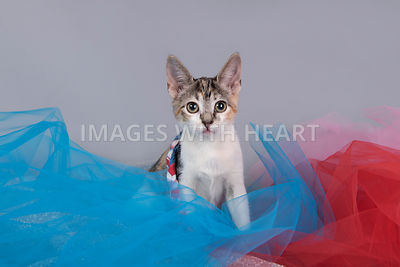 Kitten sitting in taffeta looking at camera