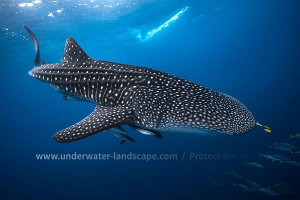 Whale shark and its golden trevallies