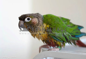 Adorable wet parrot looking at camera