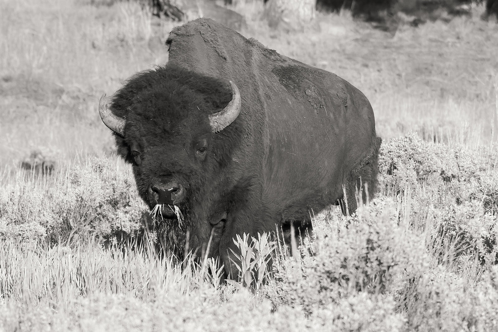 Yellowstone-Bison-3875-Sepia