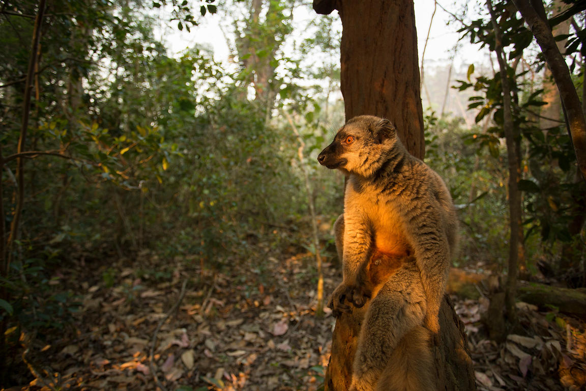 Red Fronted Brown Lemur, Vakona Lodge