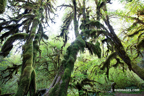 HALL OF MOSSES HOH RAINFOREST OLYMPIC NATIONAL PARK PACIFIC NORTHWEST FOREST