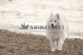 large wet Samoyed dog coming out of the water