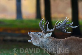 Red Deer Cervus elaphus stag bellowing at dawn during rut Bushy Park London October