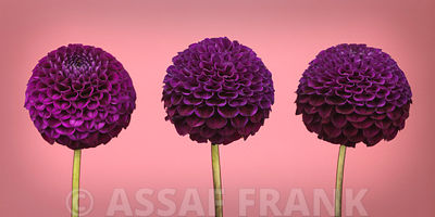 Three Pompom Dahlia flowers