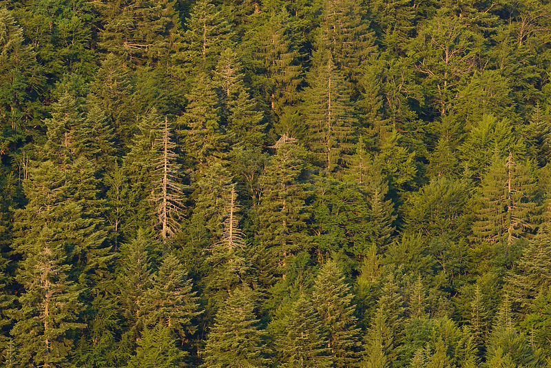 Fir and spuce forest in Velebit Nature Park, Rewilding Europe area, Velebit mountains, Croatia June 2012