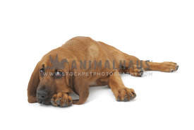 Bloodhound lying on paws against white background