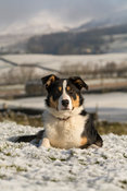 Border collie sheepdog laid in snow, with Wensleydale countryside behind. North Yorkshire, UK.