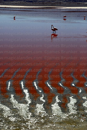Flamingos and mud ridges on shore of Laguna Colorada, Eduardo Avaroa Andean Fauna National Reserve, Bolivia