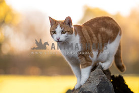 ginger moggy standing on a rock