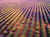 Aerial drone view of lavender, Provence, France