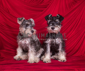 two Miniature Schnauzer puppies sitting in front of red curtains