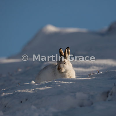 Mountain Hare (Arctic Hare) (Lepus timidus) dozing with eyes virtually shut in bright, late afternoon winter sunlight, Feb 13...