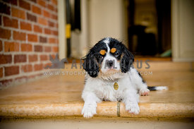 King Charles Cavalier Spaniel puppy lying on front porch