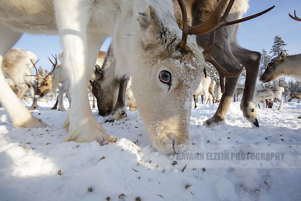 Close-up of reindeer eating food on the snow in Finnish Lapland