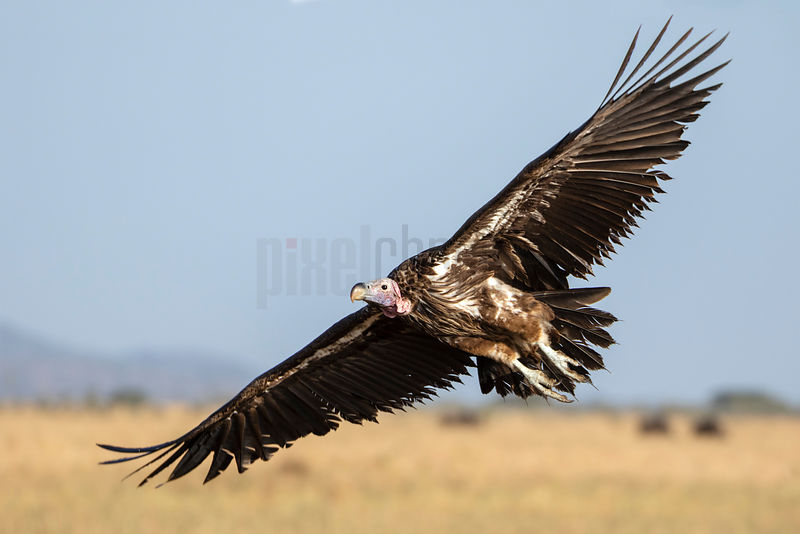 Lappet Faced Vulture Taking off