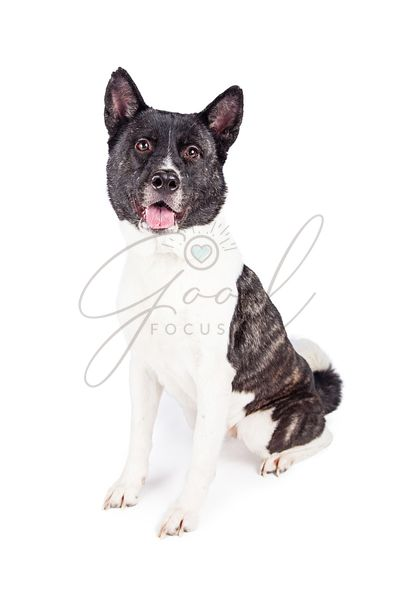 Portrait Of Black Mask Akita Sitting Over White Background