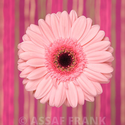 Close-up of Gerbera daisy on patterned background