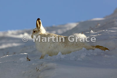 Mountain Hare (Arctic Hare) (Lepus timidus) stretching as it leaves its form in the snow, February 13, Strathdearn, Scottish ...
