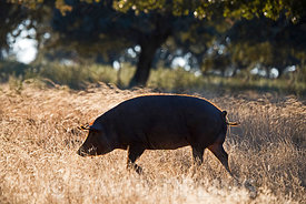 Black Iberian Pigs in Dehesa woodland feeding on acorns San Pedro Extremadura Spain December